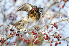 Fieldfare, Turdus pilaris Stock Photos