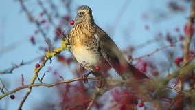 Fieldfare, Turdus pilaris stock video footage