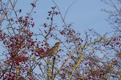 Fieldfare Turdus pilaris on a tree full of red berries at Sout. Hease in East Sussex royalty free stock photos