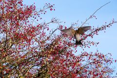 Fieldfare Turdus pilaris on a tree full of red berries at Sout. Hease in East Sussex stock images