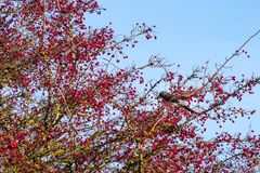 Fieldfare Turdus pilaris on a tree full of red berries at Sout. Hease in East Sussex royalty free stock images