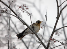 Fieldfare in winter Stock Images