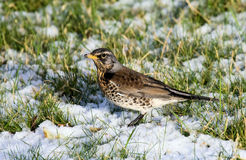 Fieldfare in Winter Royalty Free Stock Images
