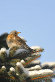 Fieldfare in the winter. Stock Photography