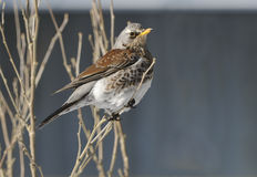 Fieldfare in the winter. Stock Photo