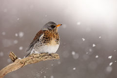 Fieldfare in Winter. The picture was taken in Hungary Stock Photo