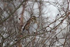 Fieldfare In Winter Stock Image