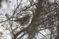 Fieldfare In Winter Royalty Free Stock Photo