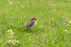 Fieldfare with a worm Stock Images