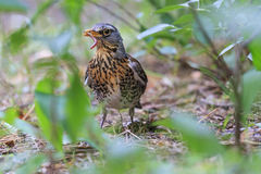 Fieldfare with worm in its beak Stock Photography