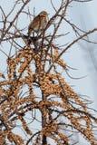 Fieldfarefågel på ett filialslut upp, Turduspilaris ukraine Fotografering för Bildbyråer