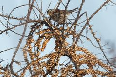 Fieldfarefågel på ett filialslut upp, Turduspilaris ukraine Arkivbild