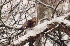 Fieldfaren (Turduspilaris) och snö arkivfoton
