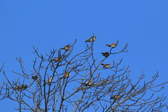 Fieldfares on tree Stock Photos