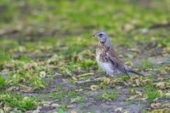 Fieldflare sur l'herbe verte Photographie stock libre de droits