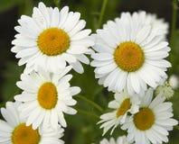 春黄菊fieldflowers 免版税库存照片