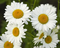 Fieldflowers (camomile). Camomile flowers (background Royalty Free Stock Photo