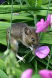 Fieldmouse eating sweetpea stock photos