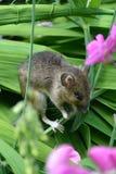Fieldmouse in sweetpea. Fieldmouse sitting in sweetpea plant in English garden Stock Image