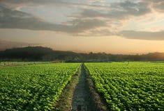 fields арахис Стоковые Фото