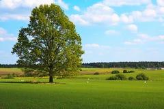 fields вал дуба Стоковые Фотографии RF