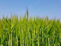 fields зерно Стоковая Фотография