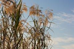 fields золотистое стоковая фотография rf