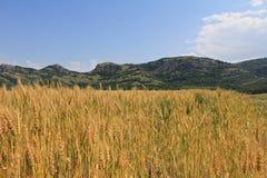 fields золотистая пшеница Стоковое Фото