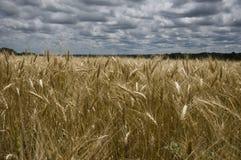 fields золотистая пшеница Стоковая Фотография