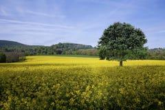 fields золото Стоковое фото RF