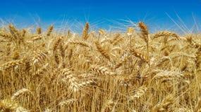 fields золото Стоковые Изображения
