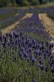 fields изображение san лаванды juan острова Стоковые Изображения