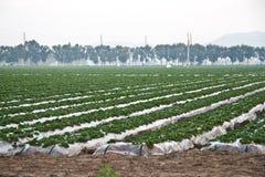 fields клубника Стоковая Фотография RF