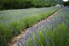 fields лаванда Провансаль Франции французская Стоковое Изображение