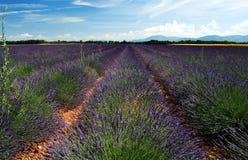 fields лаванда Стоковая Фотография RF