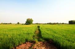 fields неочищенные рисы Стоковое Фото