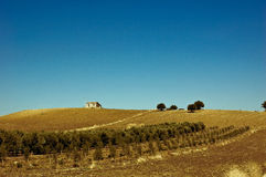 fields оливки Сицилия Италии Стоковая Фотография RF