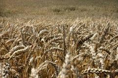 fields плодовитое Стоковые Фотографии RF