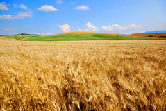 fields пшеница Стоковые Фото