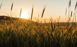 fields пшеница Стоковые Изображения