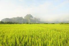 fields рис Стоковые Фотографии RF
