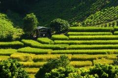fields рис Стоковые Фото