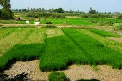 fields рис Стоковые Изображения RF
