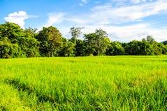 fields рис Стоковые Изображения
