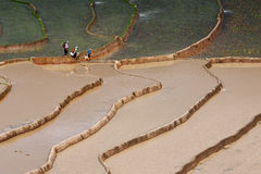 fields рис terraced Стоковые Фото