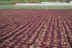 fields салат Стоковые Изображения RF