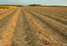 fields сахарный тростник Стоковая Фотография