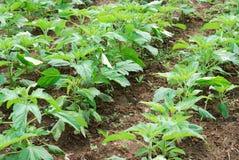fields сезам роста Стоковое Фото