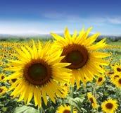 fields солнцецвет лета стоковое изображение rf