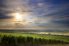 Fields. A large wineyard in the evening Royalty Free Stock Photo
